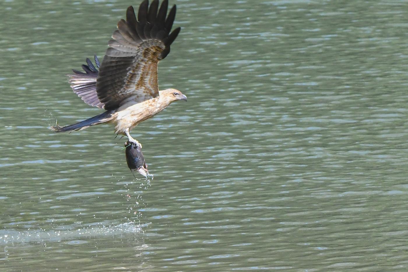 Whistling Kite (Image ID 32032)