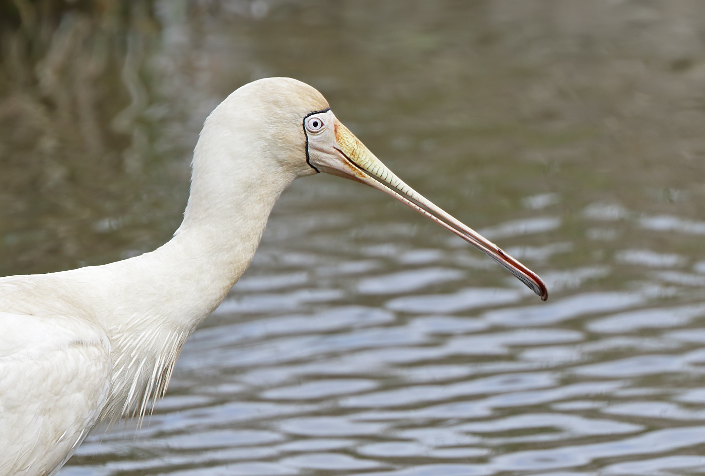 Yellow-billed Spoonbill (Image ID 32001)
