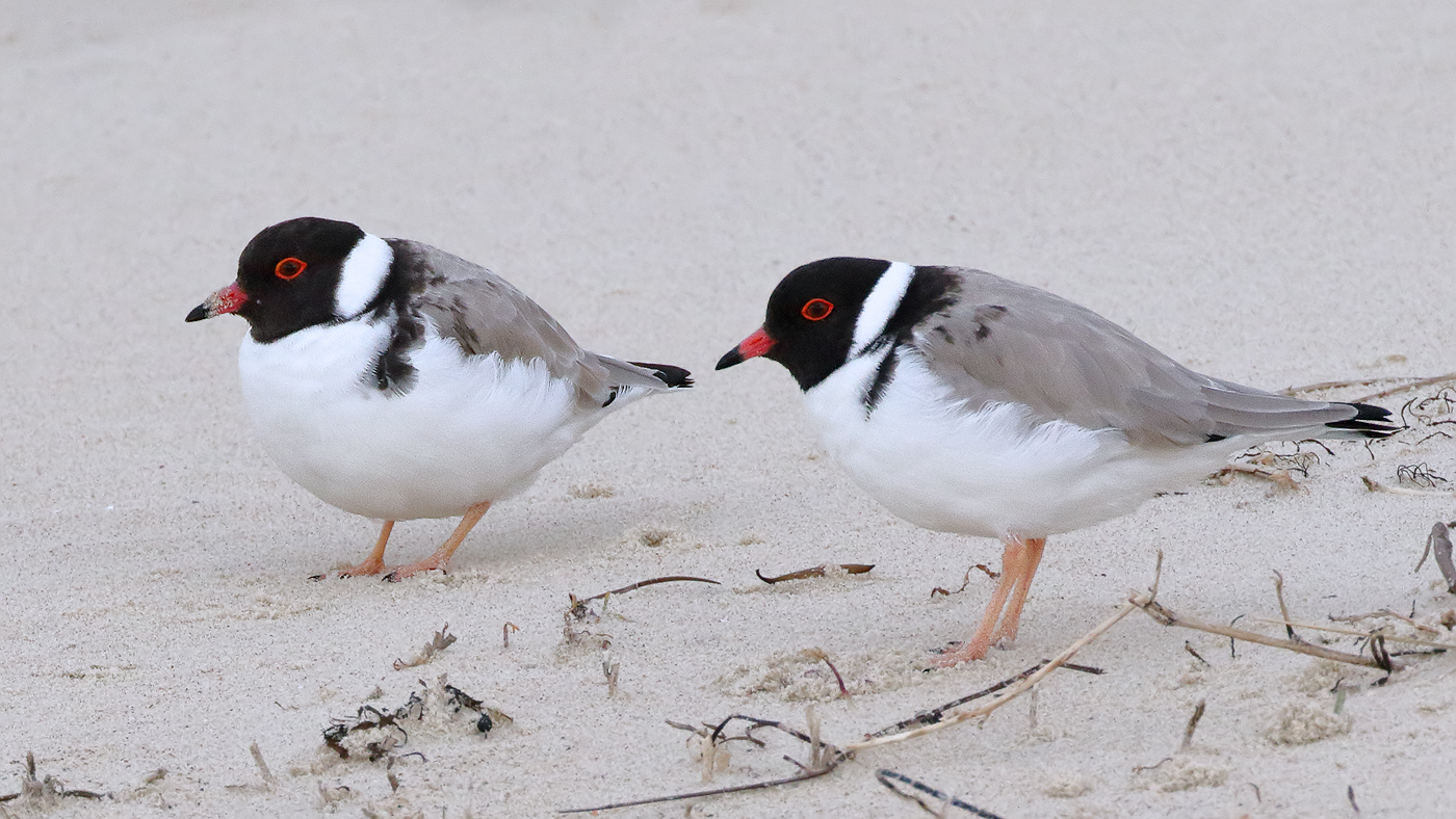 Hooded Plover (Image ID 31809)
