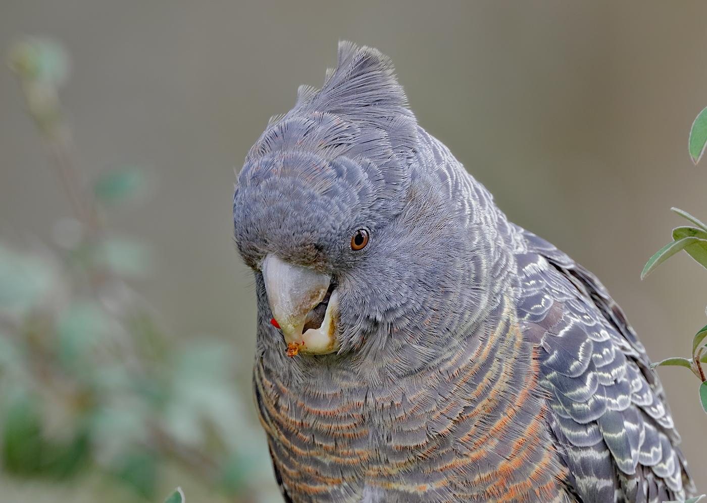 Gang-gang Cockatoo (Image ID 31812)