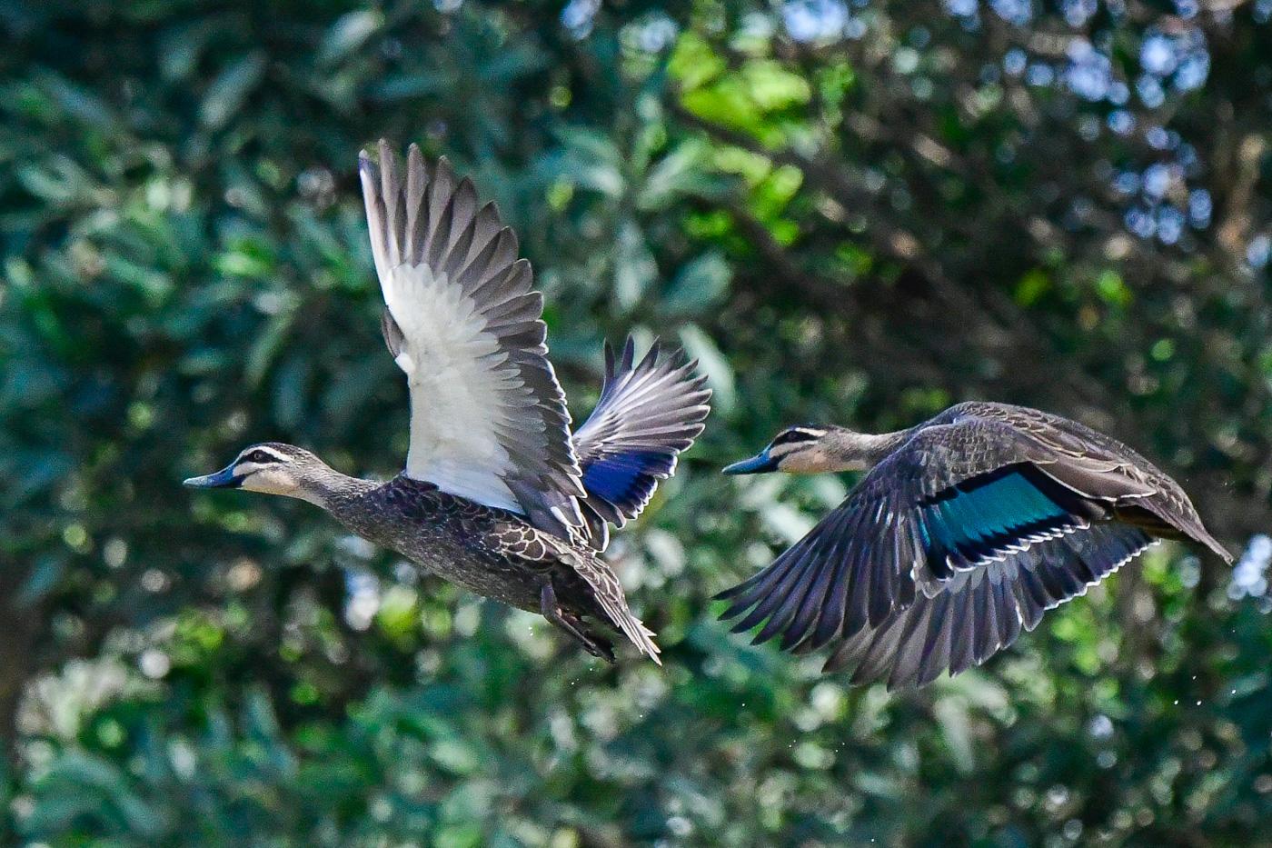 Pacific Black Duck (Image ID 31685)