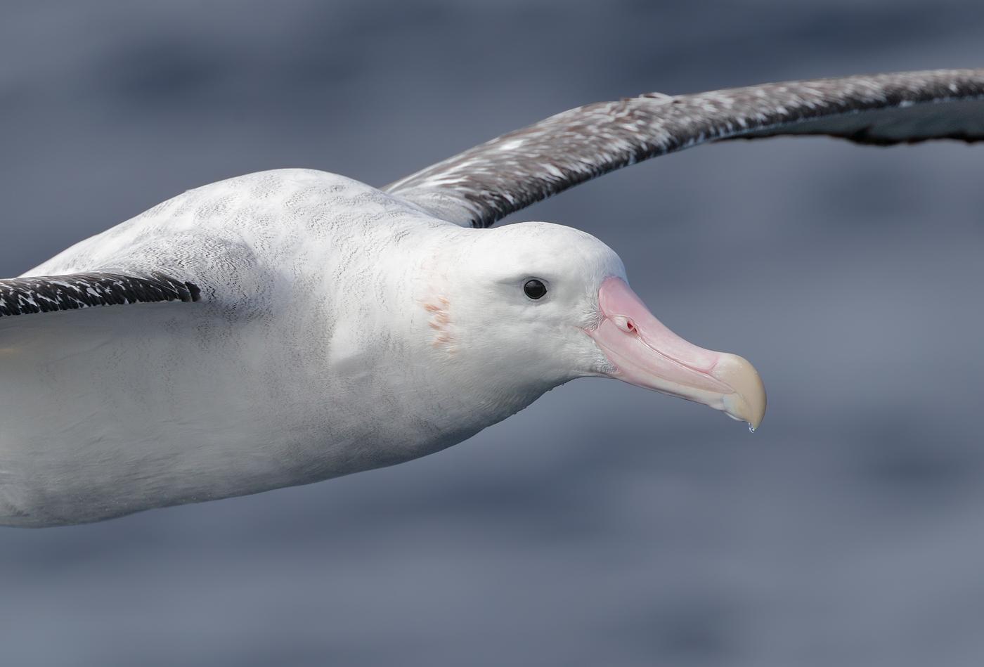 Antipodean Albatross (Image ID 32008)