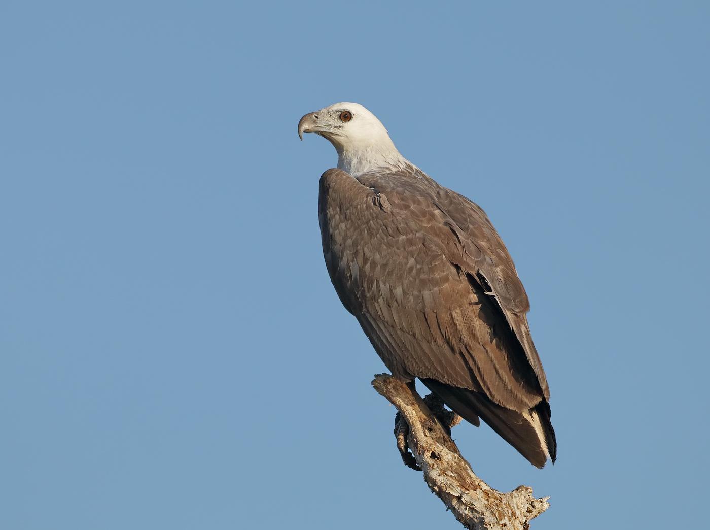 White-bellied Sea-Eagle (Image ID 31980)