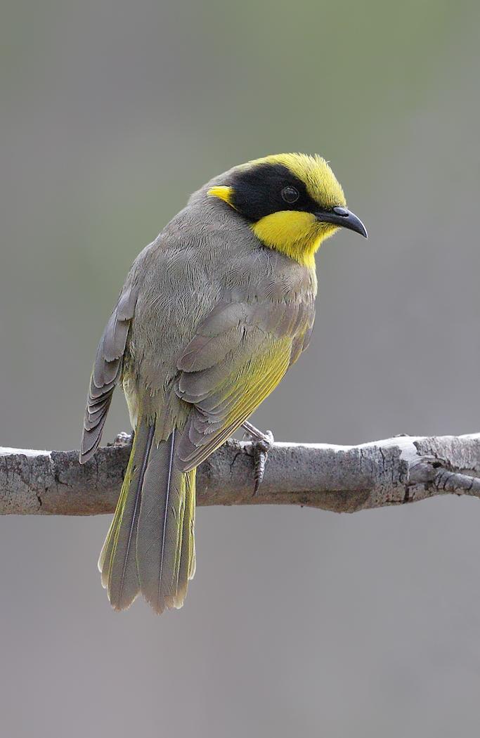 Yellow-tufted Honeyeater (Image ID 31757)