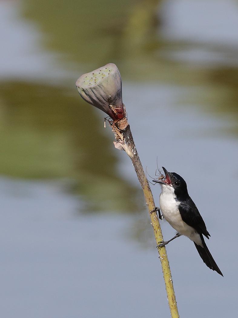 Restless Flycatcher (Image ID 31790)