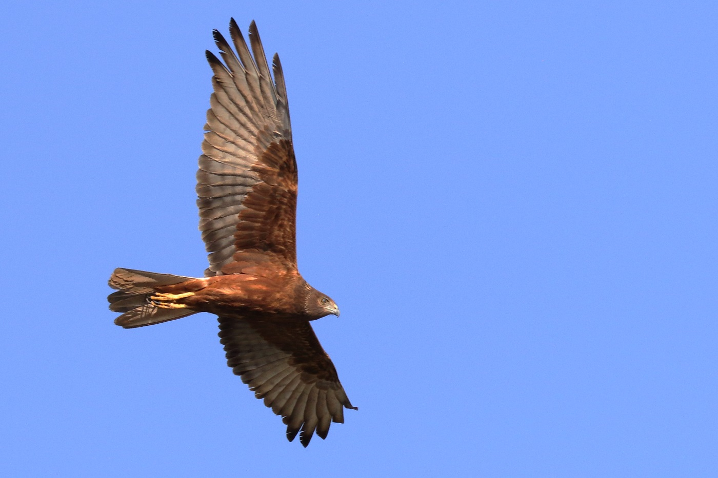 Swamp Harrier (Image ID 31824)