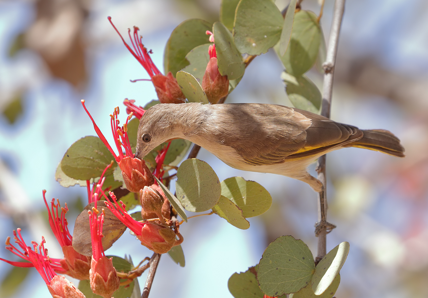 Rufous-throated Honeyeater (Image ID 32010)
