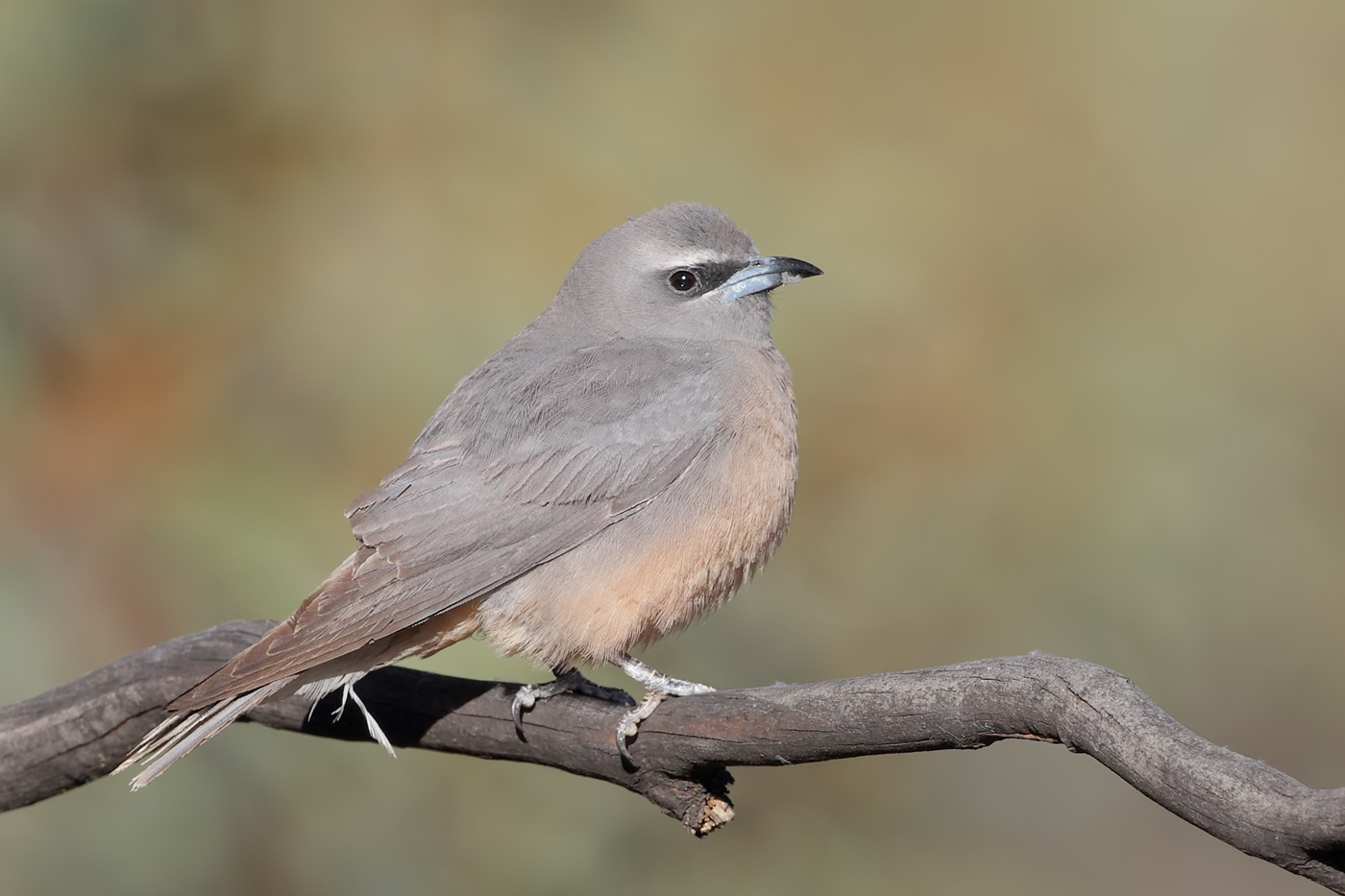 White-browed Woodswallow (Image ID 32007)