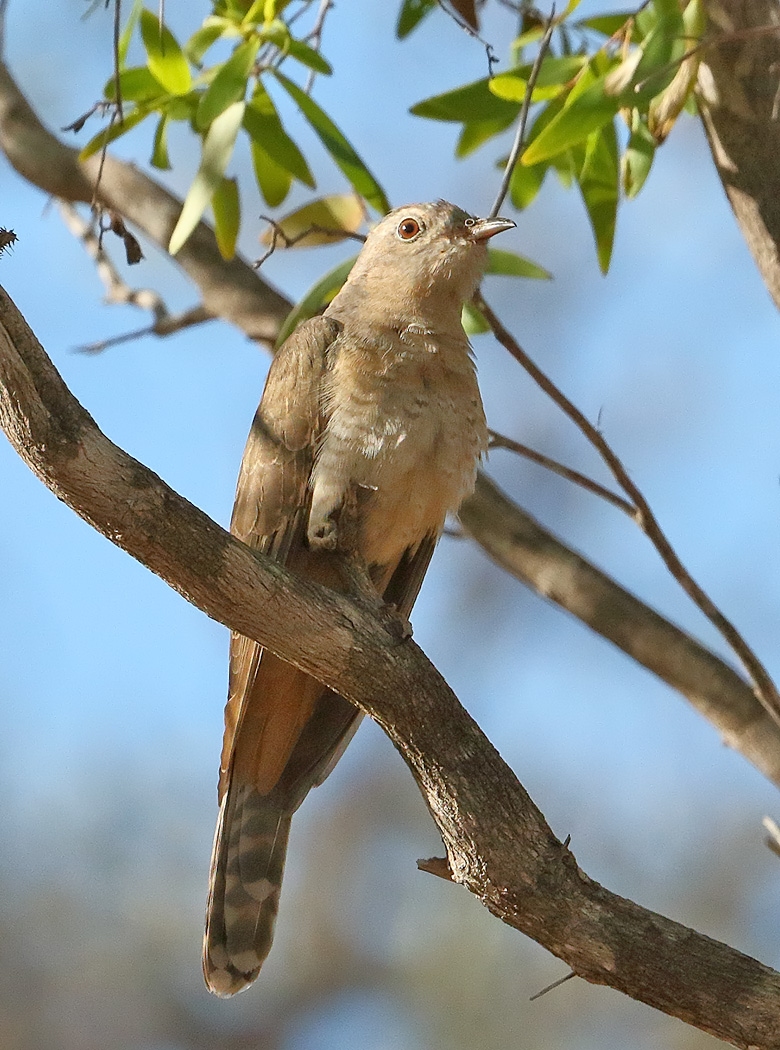Brush Cuckoo (Image ID 32117)