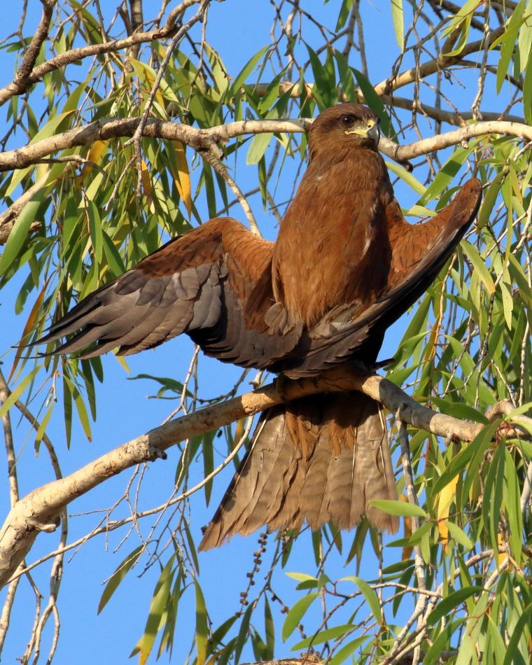 Black Kite (Image ID 32423)