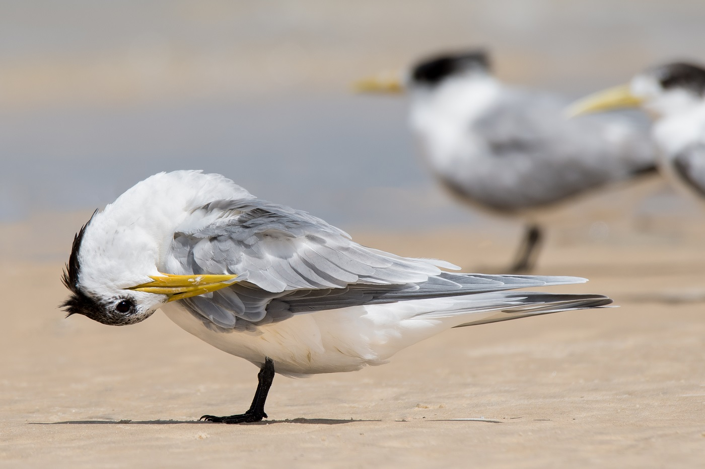 Crested Tern (Image ID 32339)
