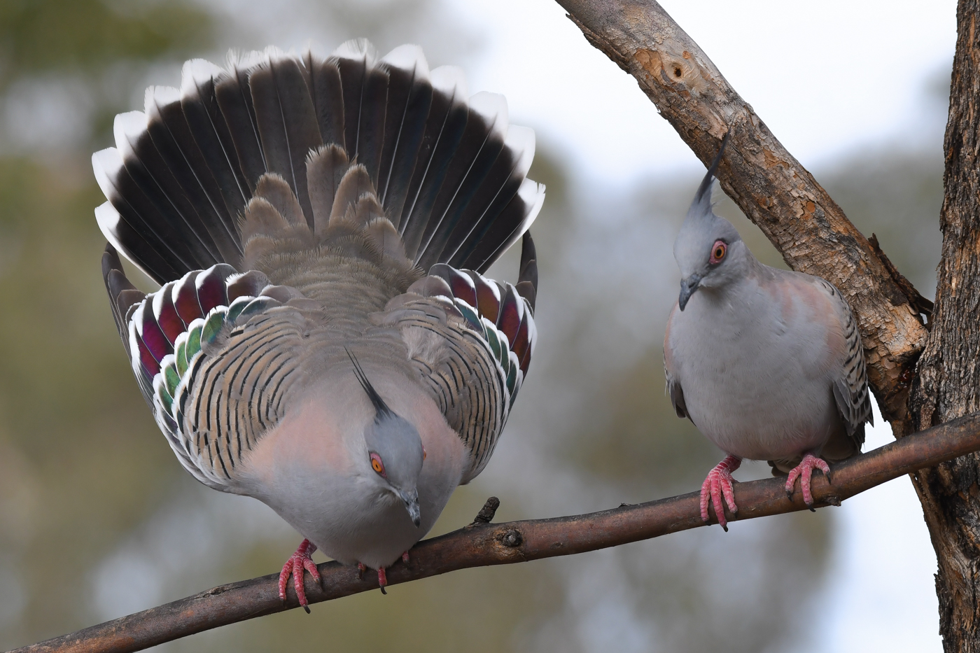 Crested Pigeon (Image ID 32262)