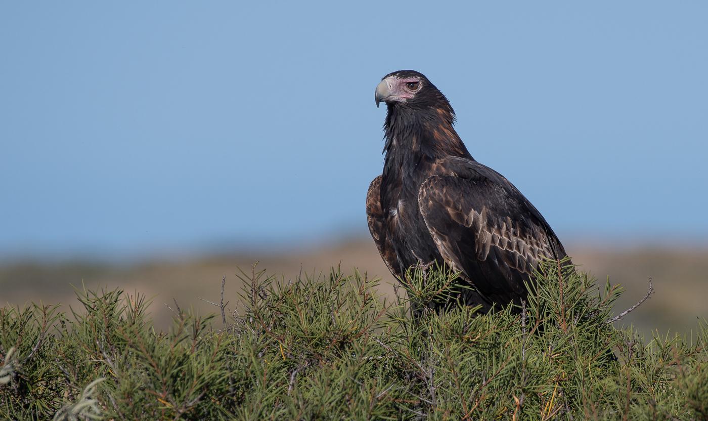 Wedge-tailed Eagle (Image ID 32121)
