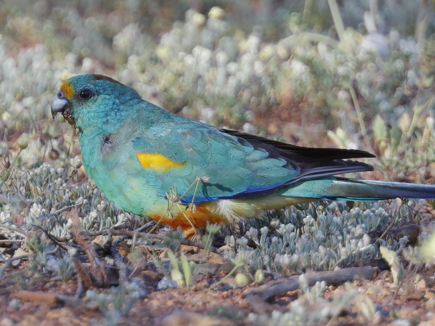 Mulga Parrot (Image ID 32089)