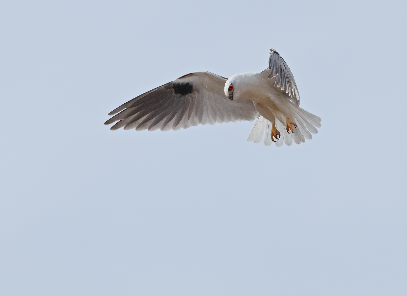Black-shouldered Kite (Image ID 32100)