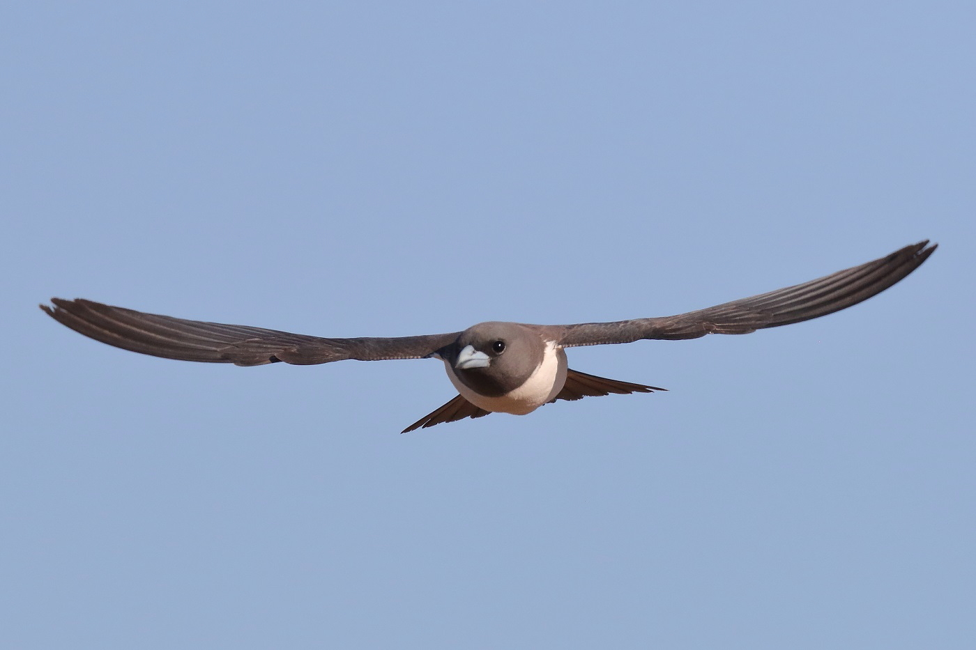 White-breasted Woodswallow (Image ID 32216)