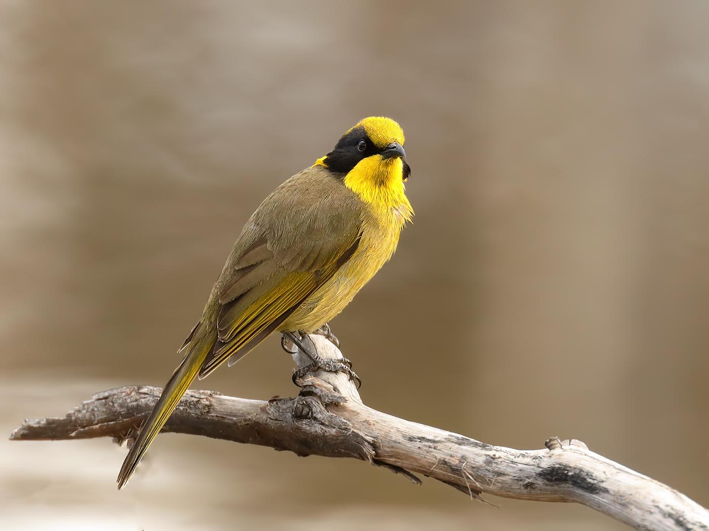 Yellow-tufted Honeyeater (Image ID 32171)