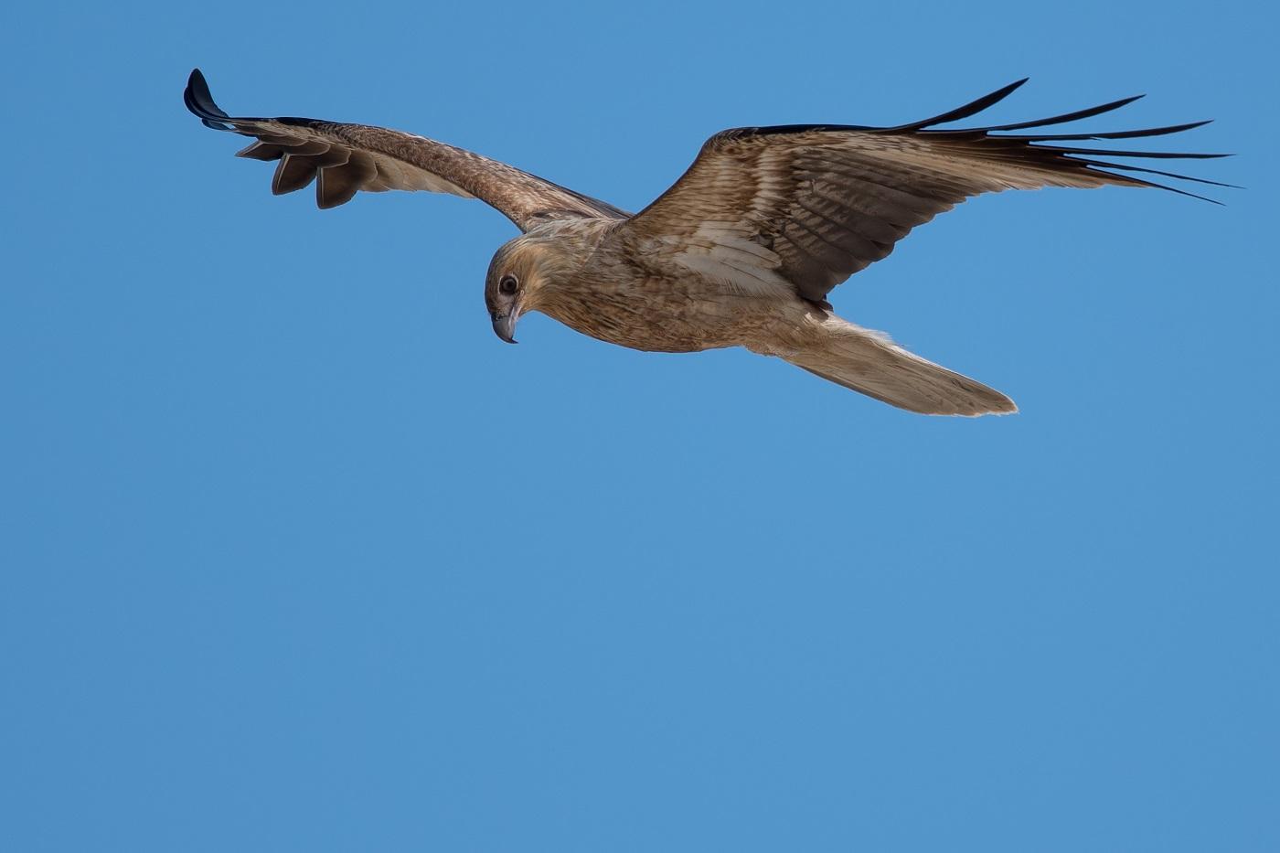 Whistling Kite (Image ID 32280)