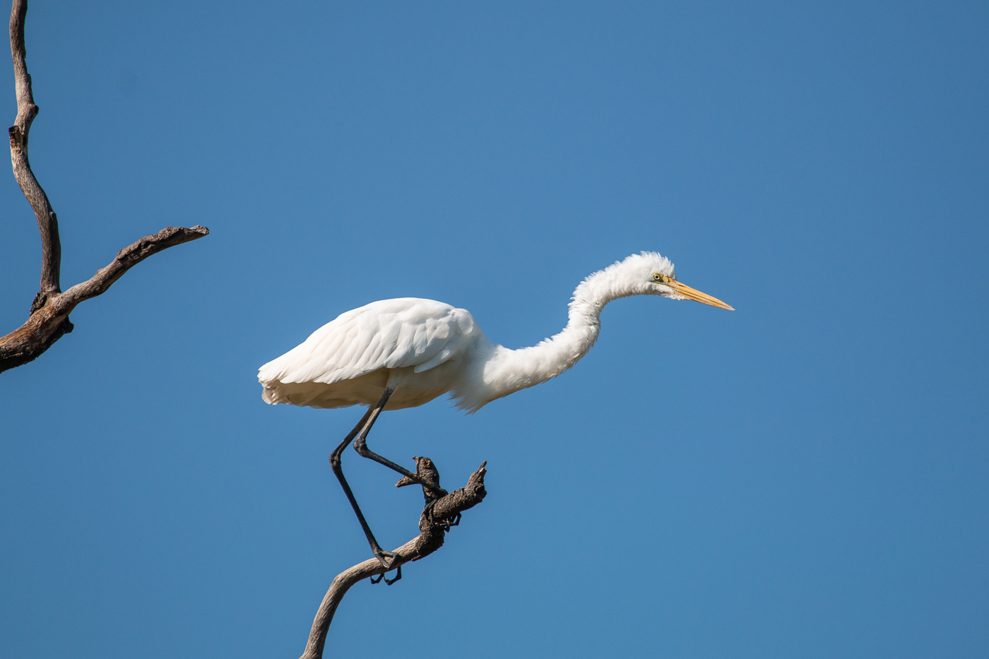 Great Egret (Image ID 32250)