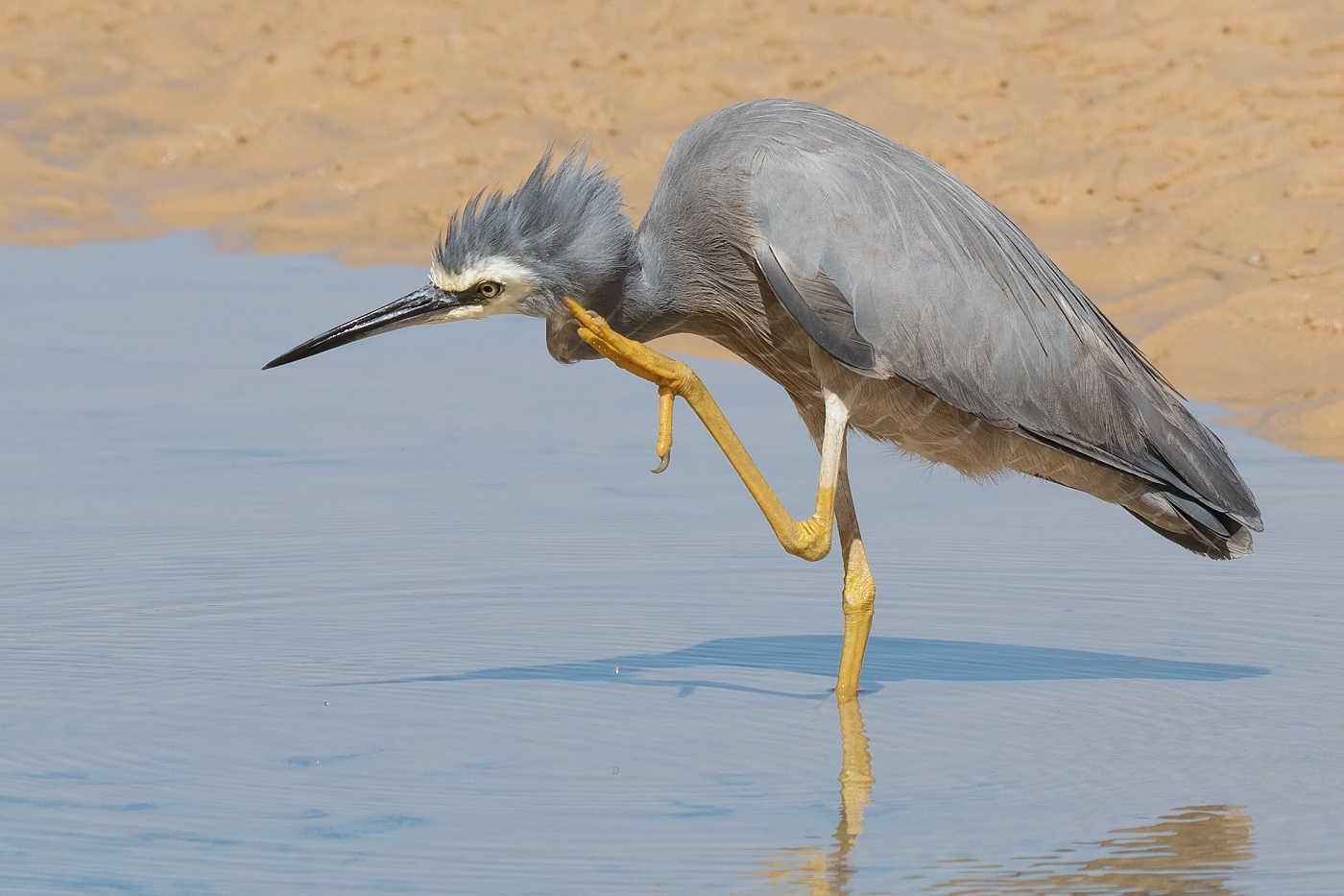 White-faced Heron (Image ID 32340)