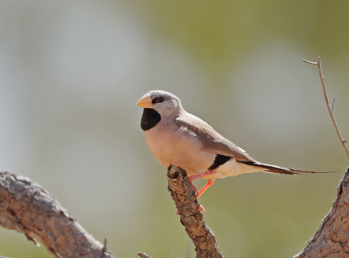 Long-tailed Finch (Image ID 32289)
