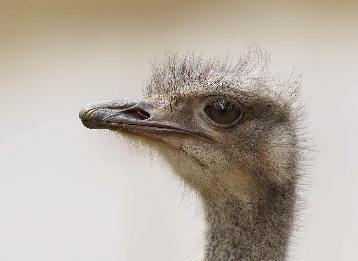 Ostrich (Image ID 32303)