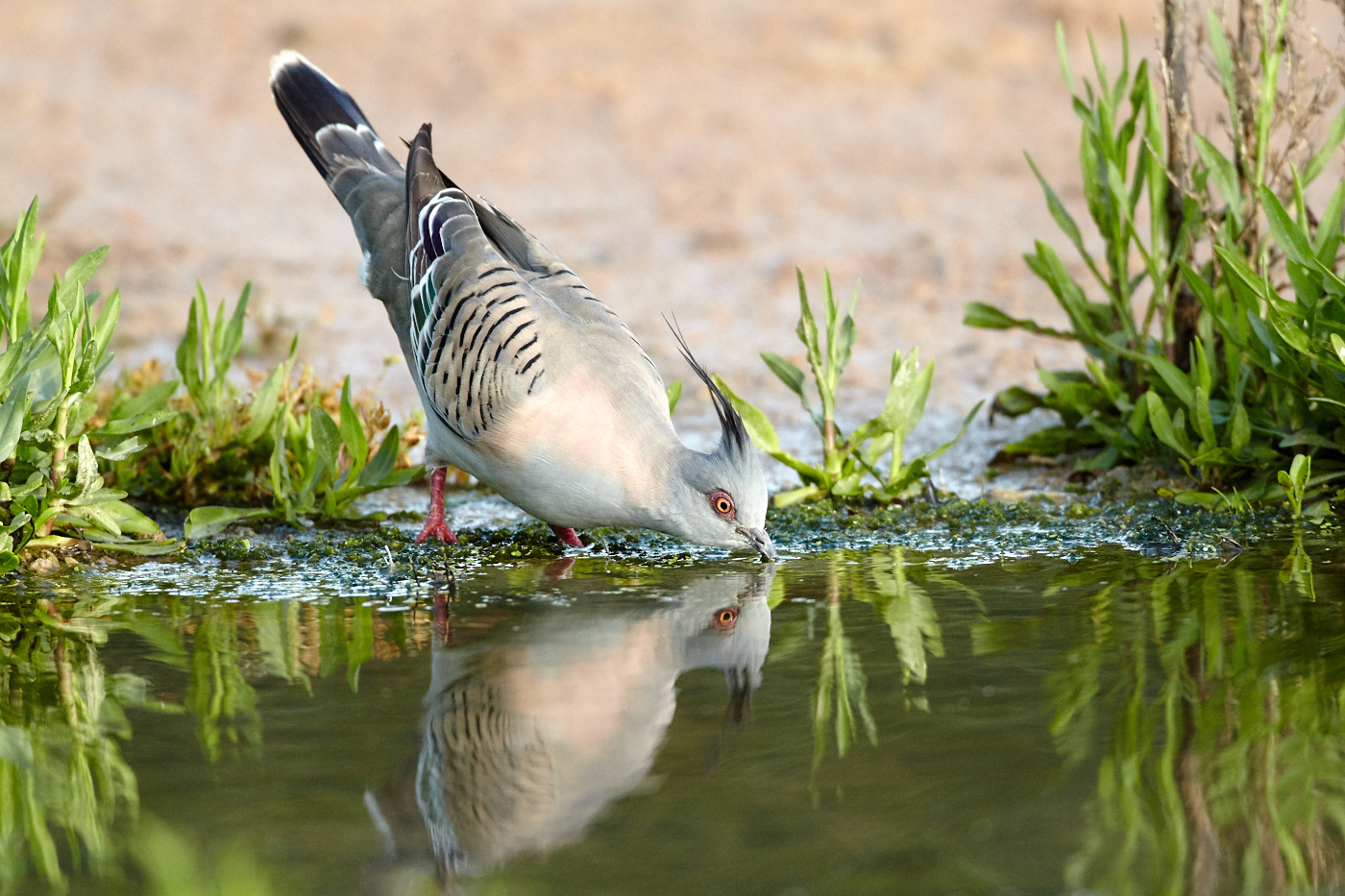 Crested Pigeon (Image ID 32120)