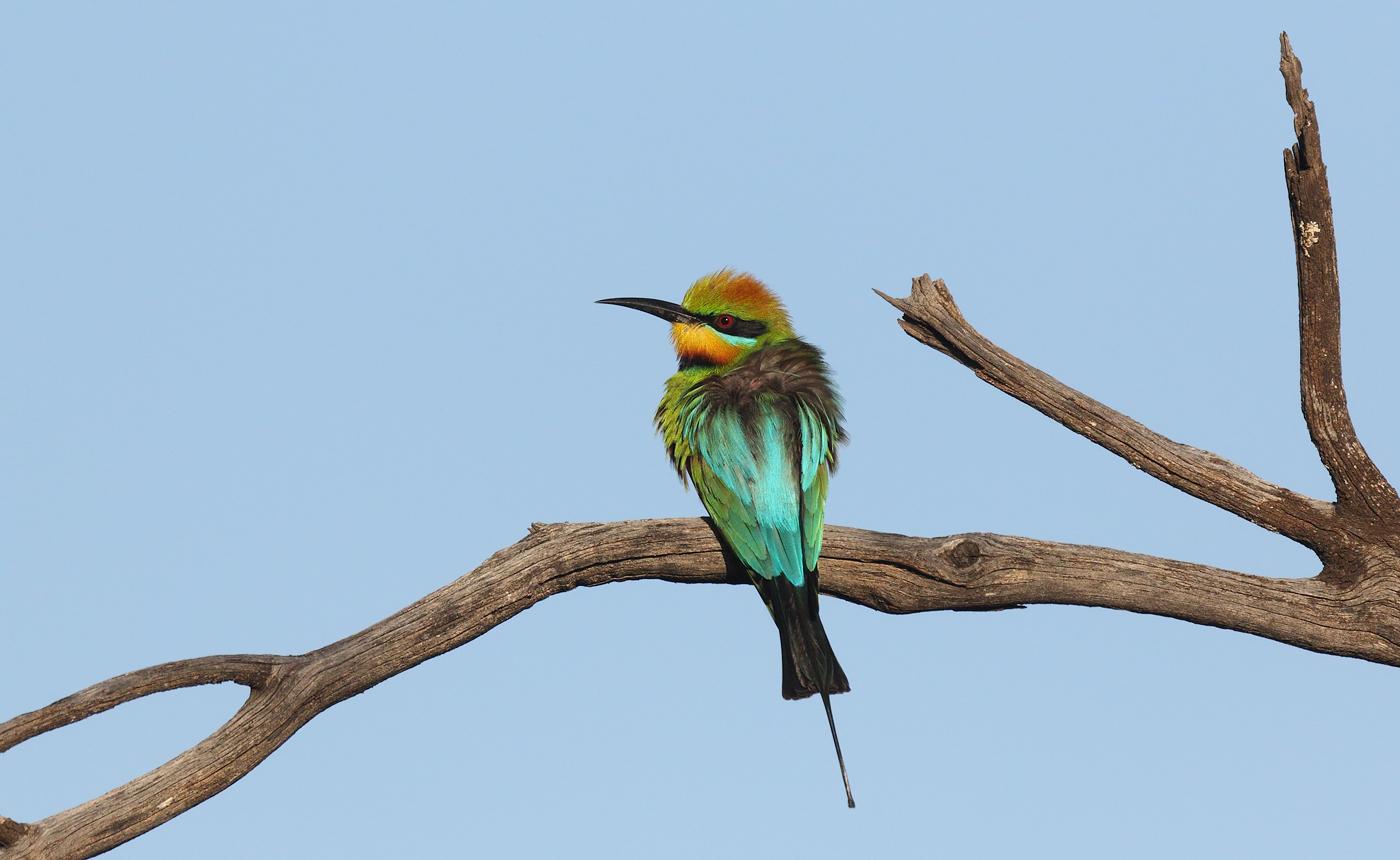 Rainbow Bee-eater (Image ID 32376)