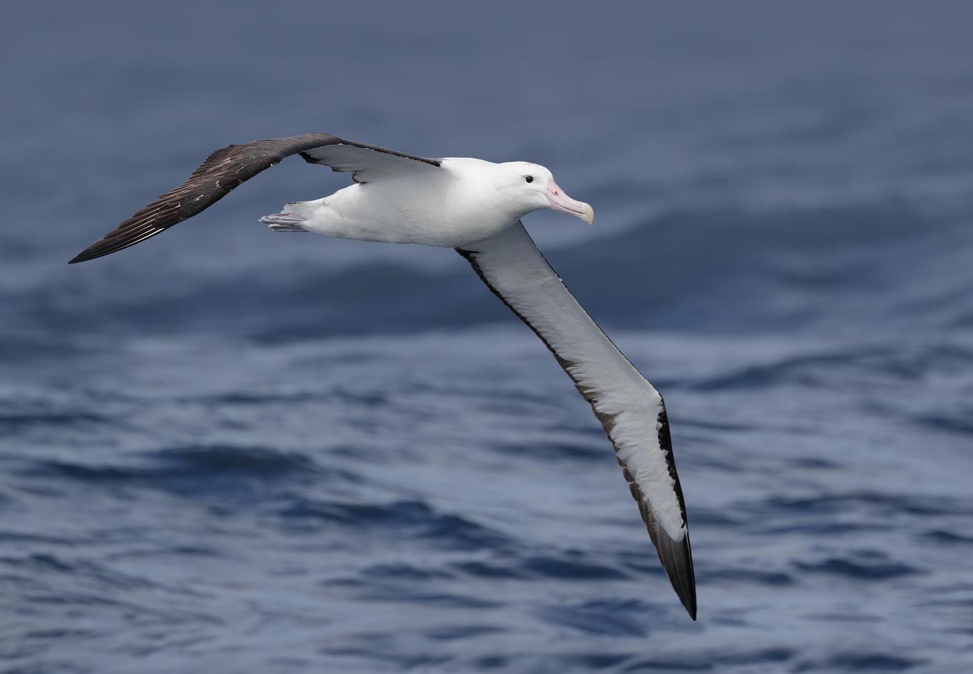 Northern Royal Albatross (Image ID 32114)