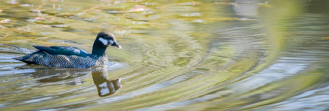 Green Pygmy-goose (Image ID 32079)