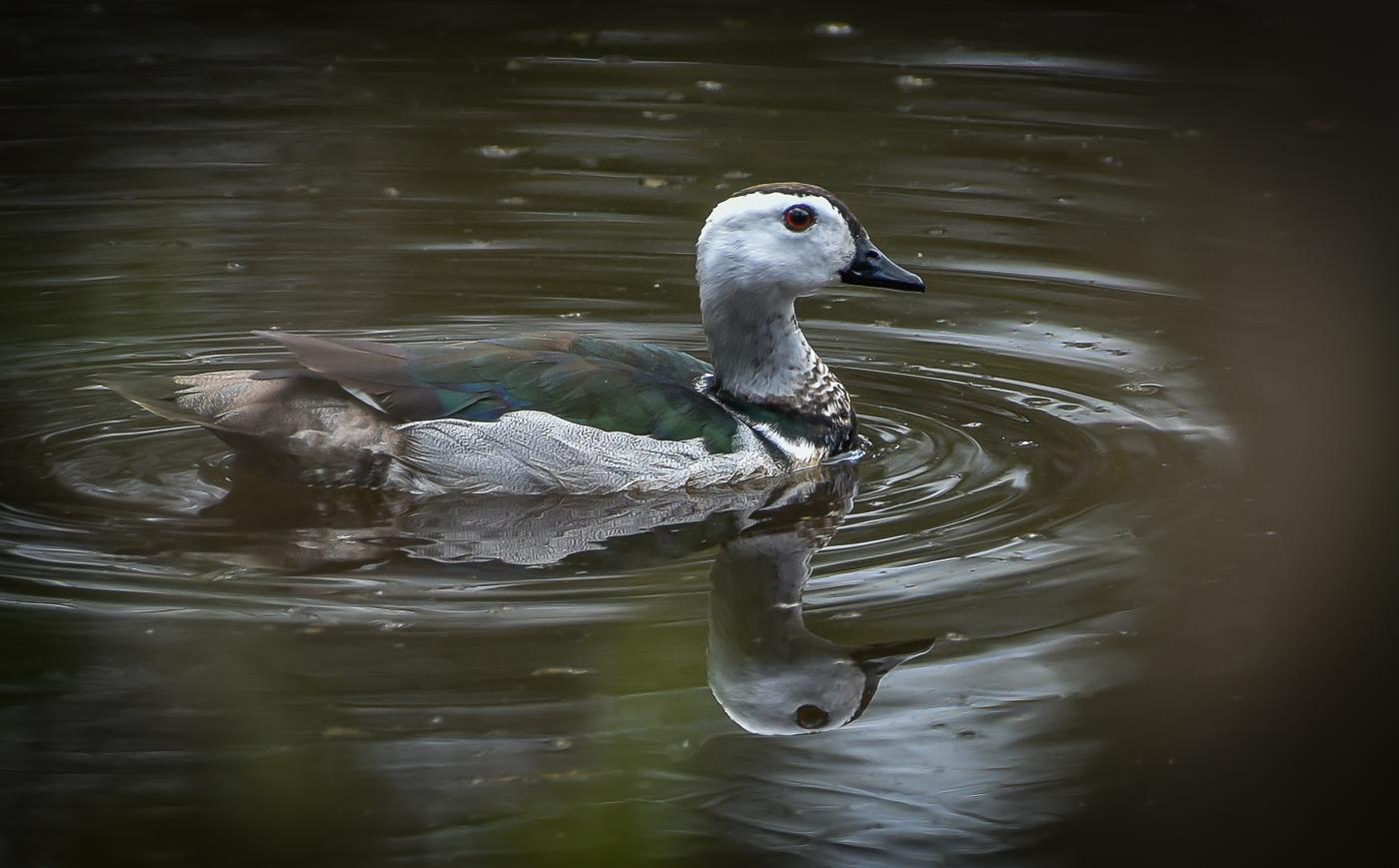 Cotton Pygmy-goose (Image ID 32234)