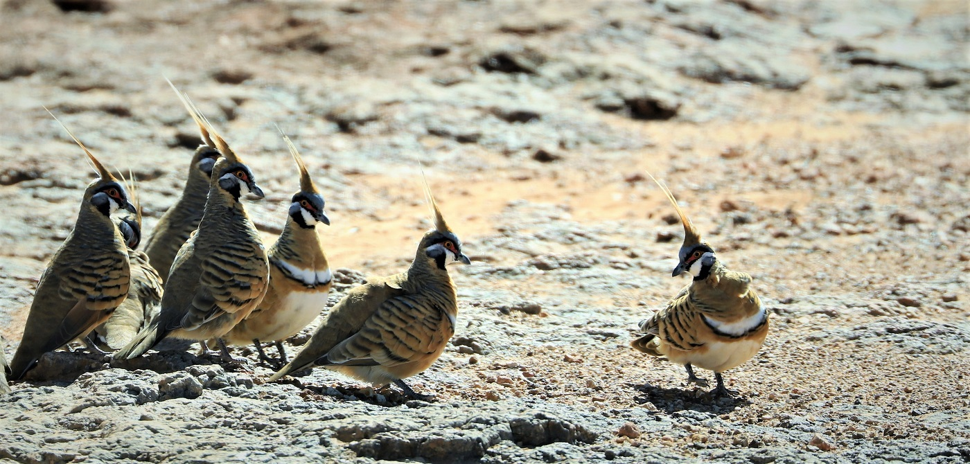 Spinifex Pigeon (Image ID 32186)