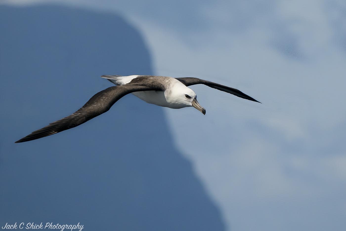 Black-browed Albatross (Image ID 32132)
