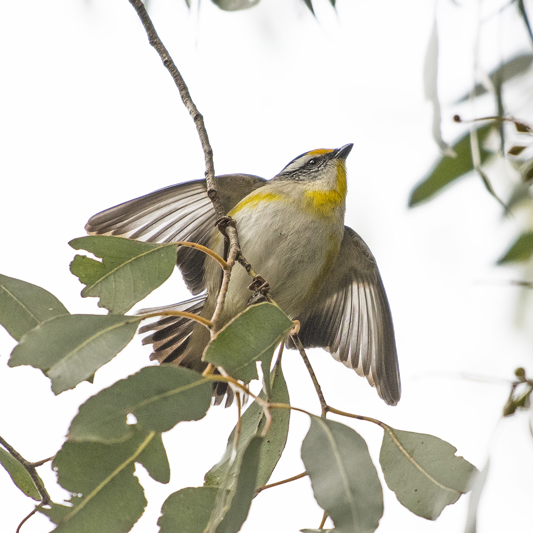 Striated Pardalote (Image ID 32149)