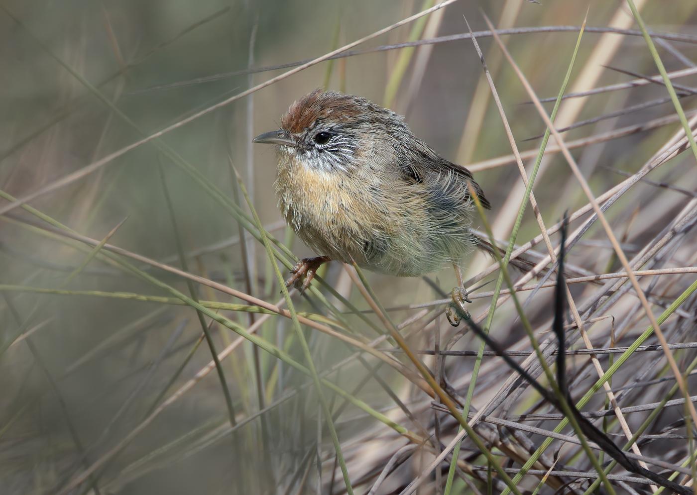 Mallee Emu-wren