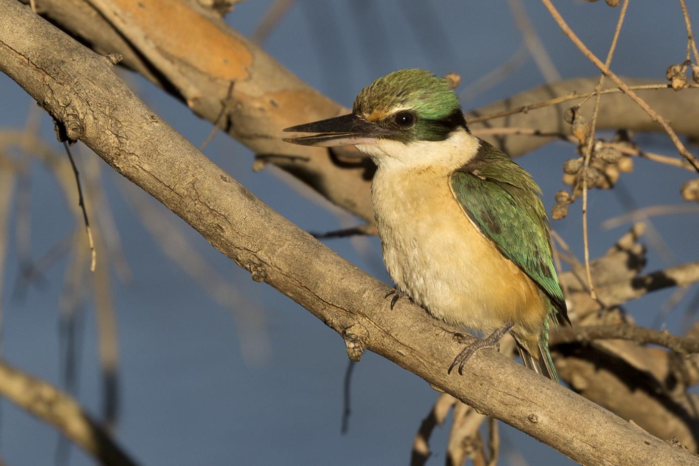 Sacred Kingfisher (Image ID 32417)