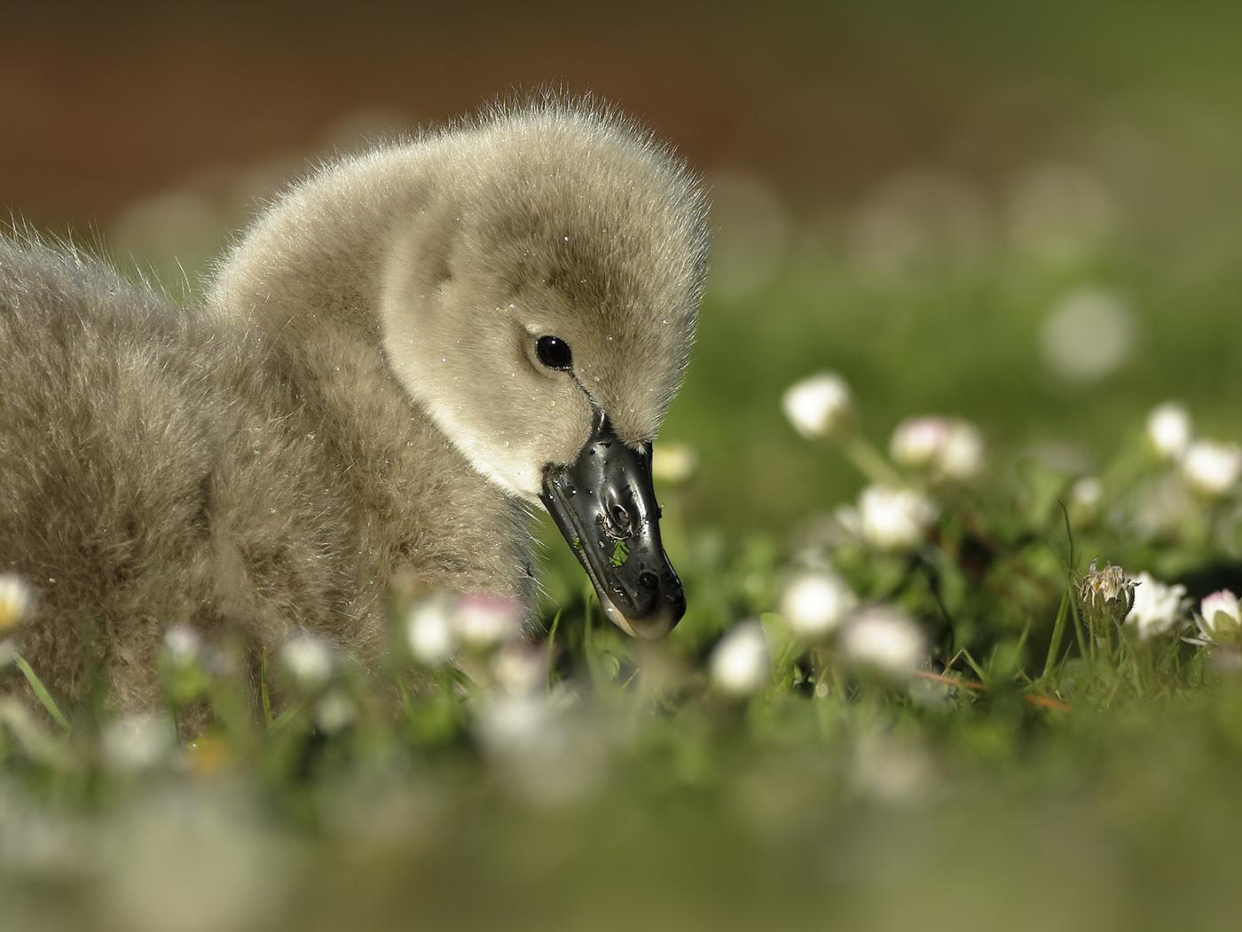 Black Swan (Image ID 32254)