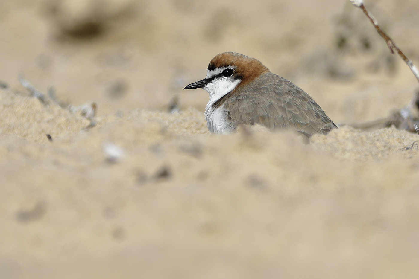 Red-capped Plover (Image ID 32225)