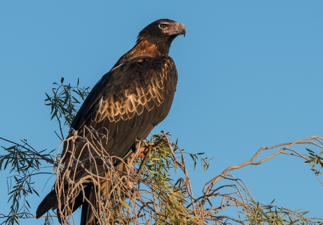Wedge-tailed Eagle (Image ID 32198)