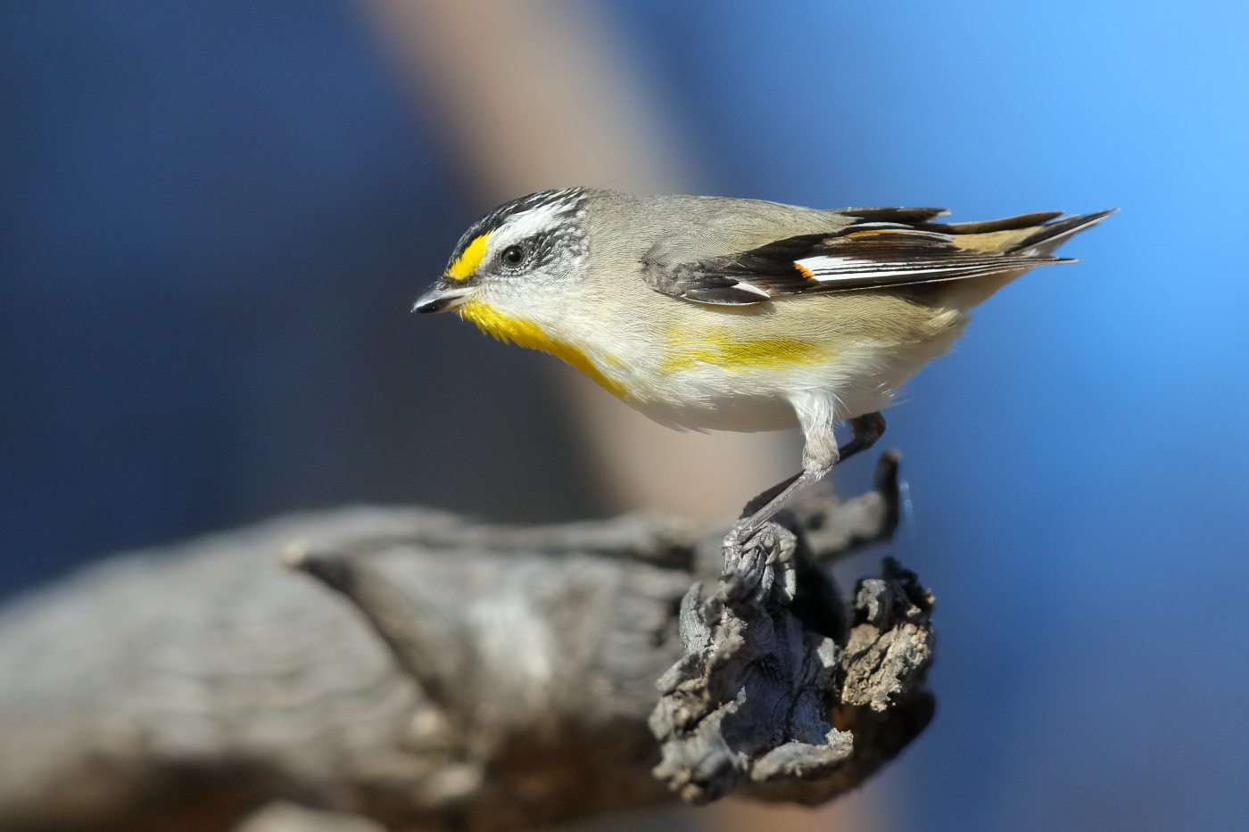 Striated Pardalote (Image ID 32300)