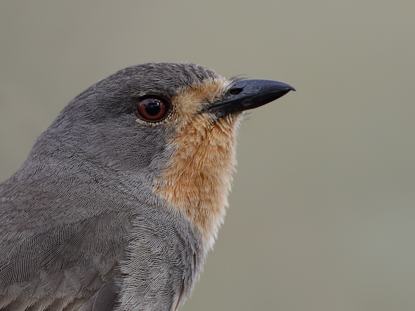 Red-lored Whistler