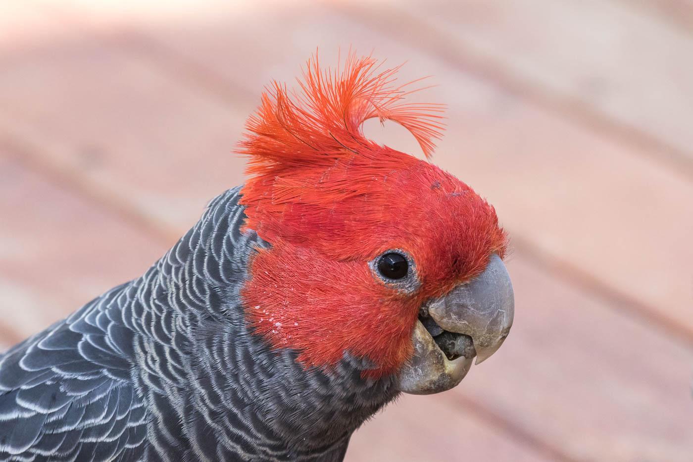 Gang-gang Cockatoo (Image ID 32064)