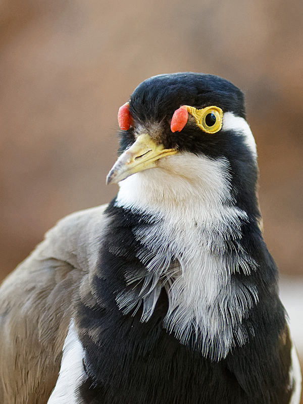Banded Lapwing (Image ID 32318)