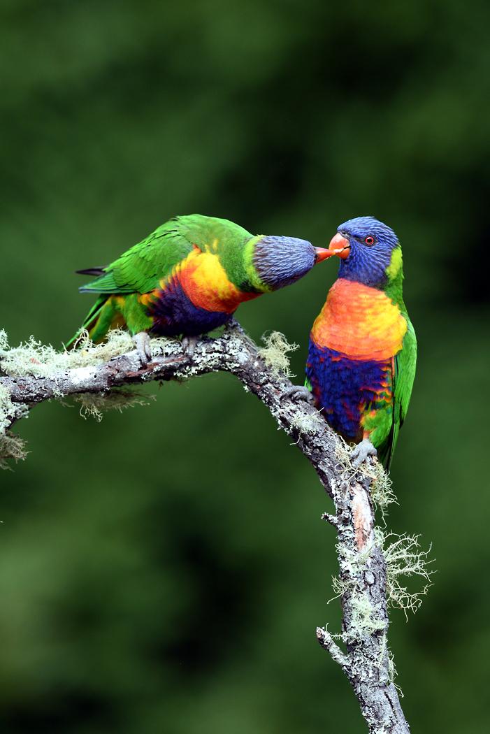 Rainbow Lorikeet (Image ID 32241)