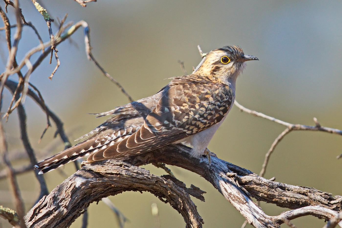 Pallid Cuckoo (Image ID 32434)