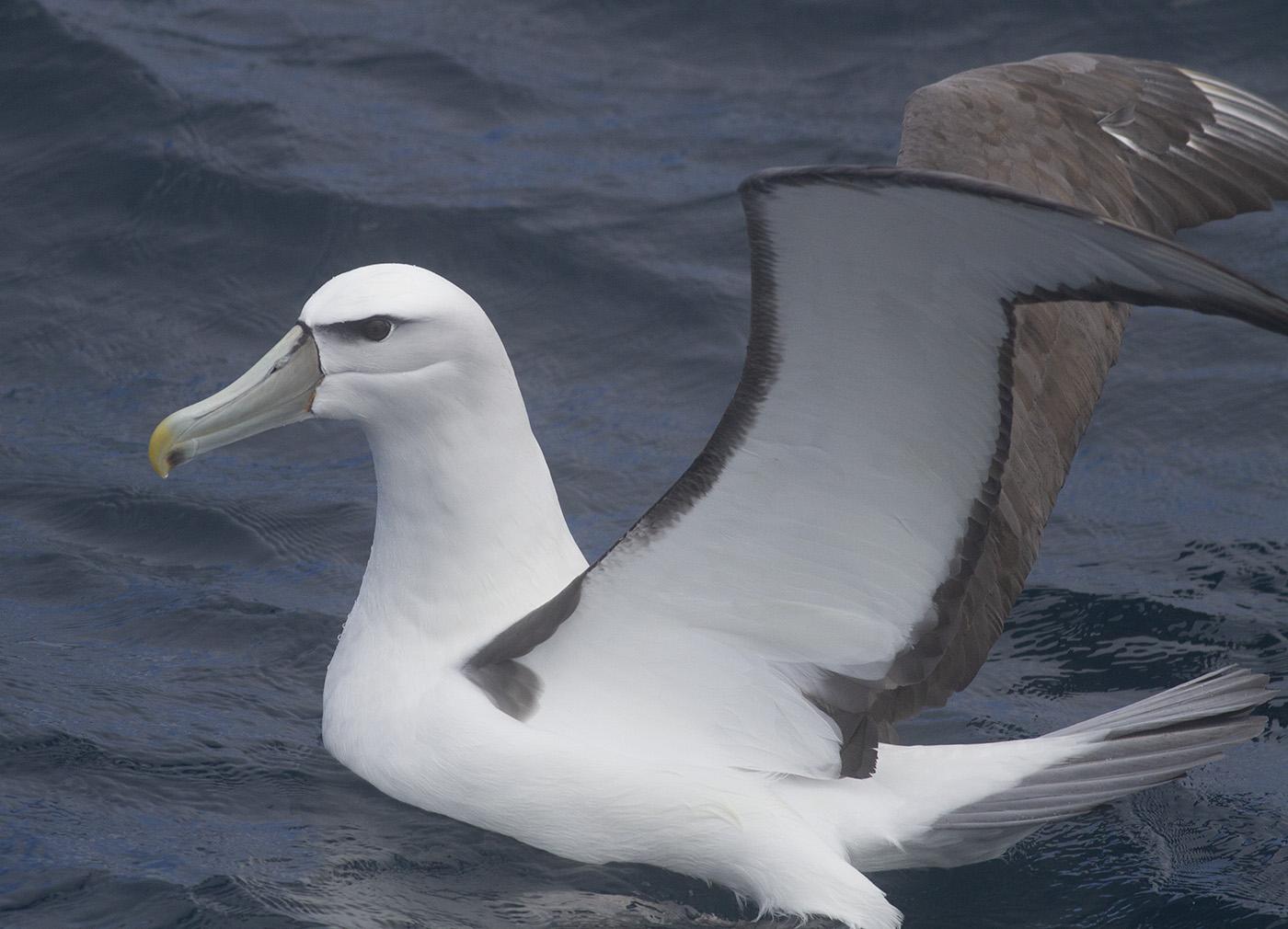 White-capped Albatross (Image ID 32151)