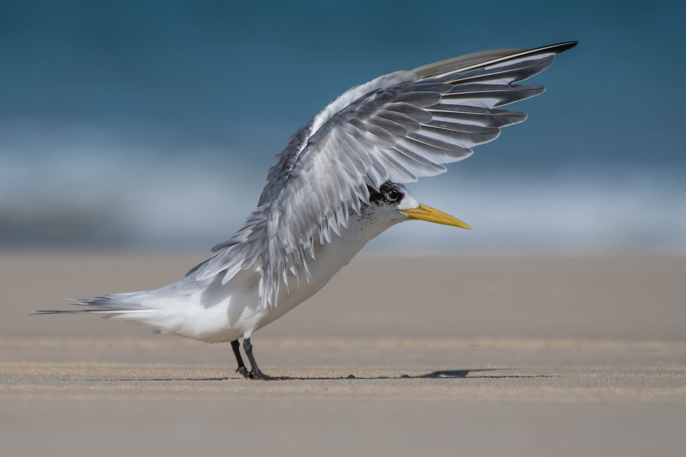 Greater Crested Tern (Image ID 32398)