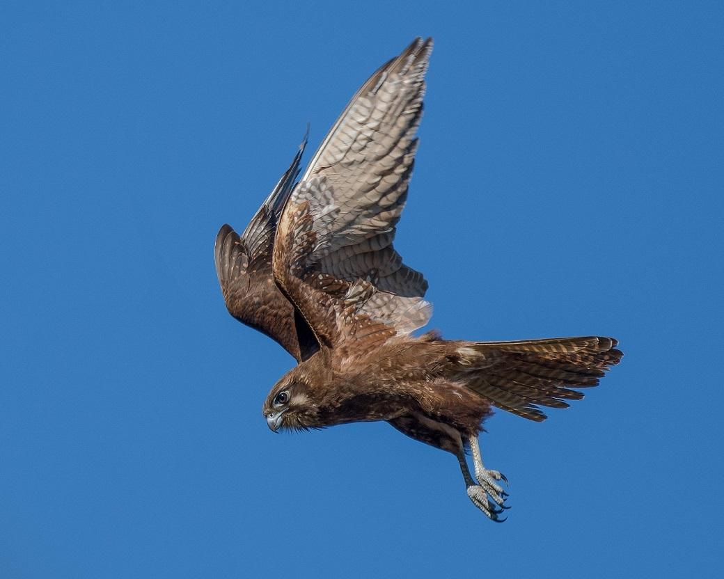 Brown Falcon (Image ID 32399)