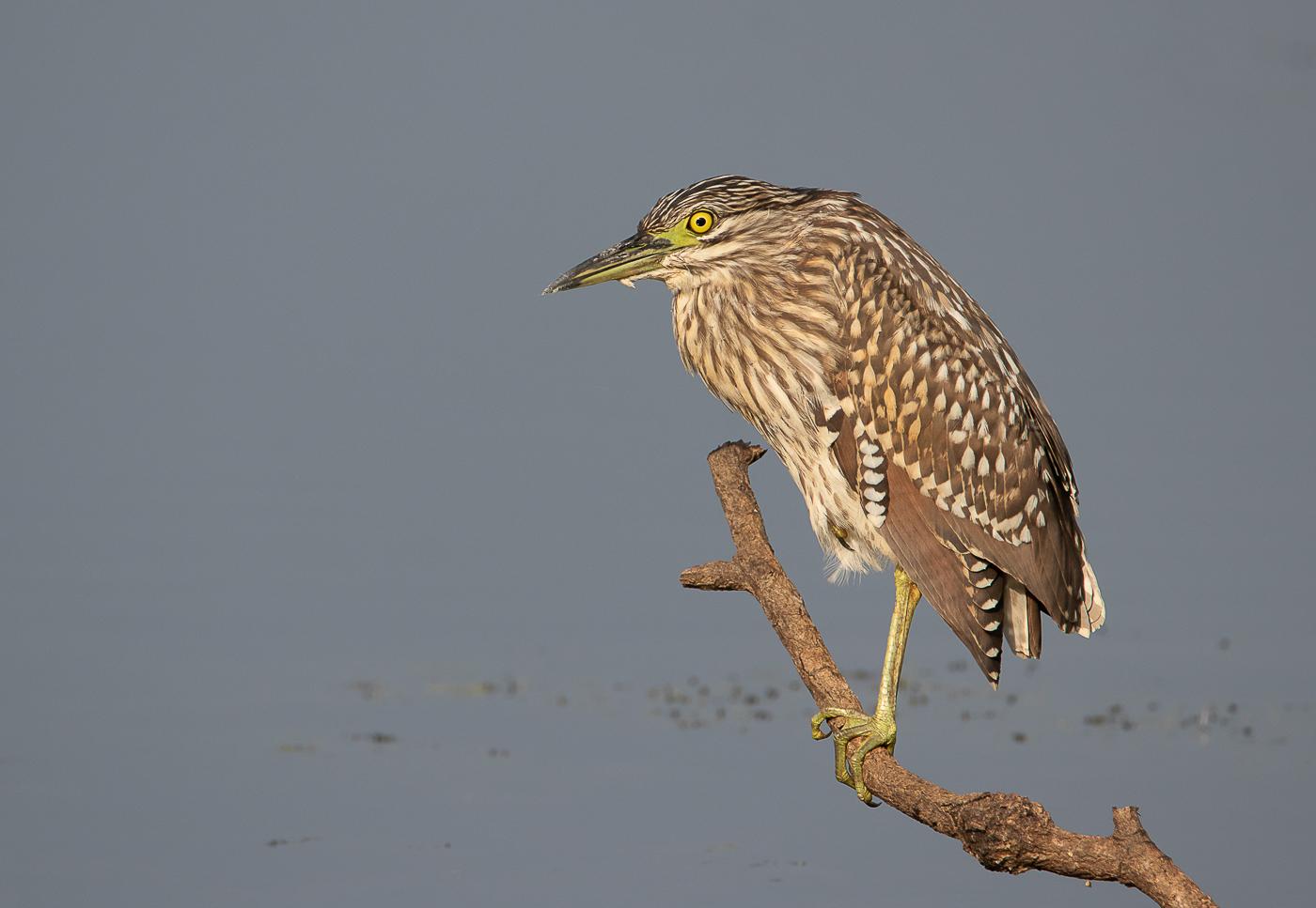 Nankeen Night-Heron (Image ID 32308)