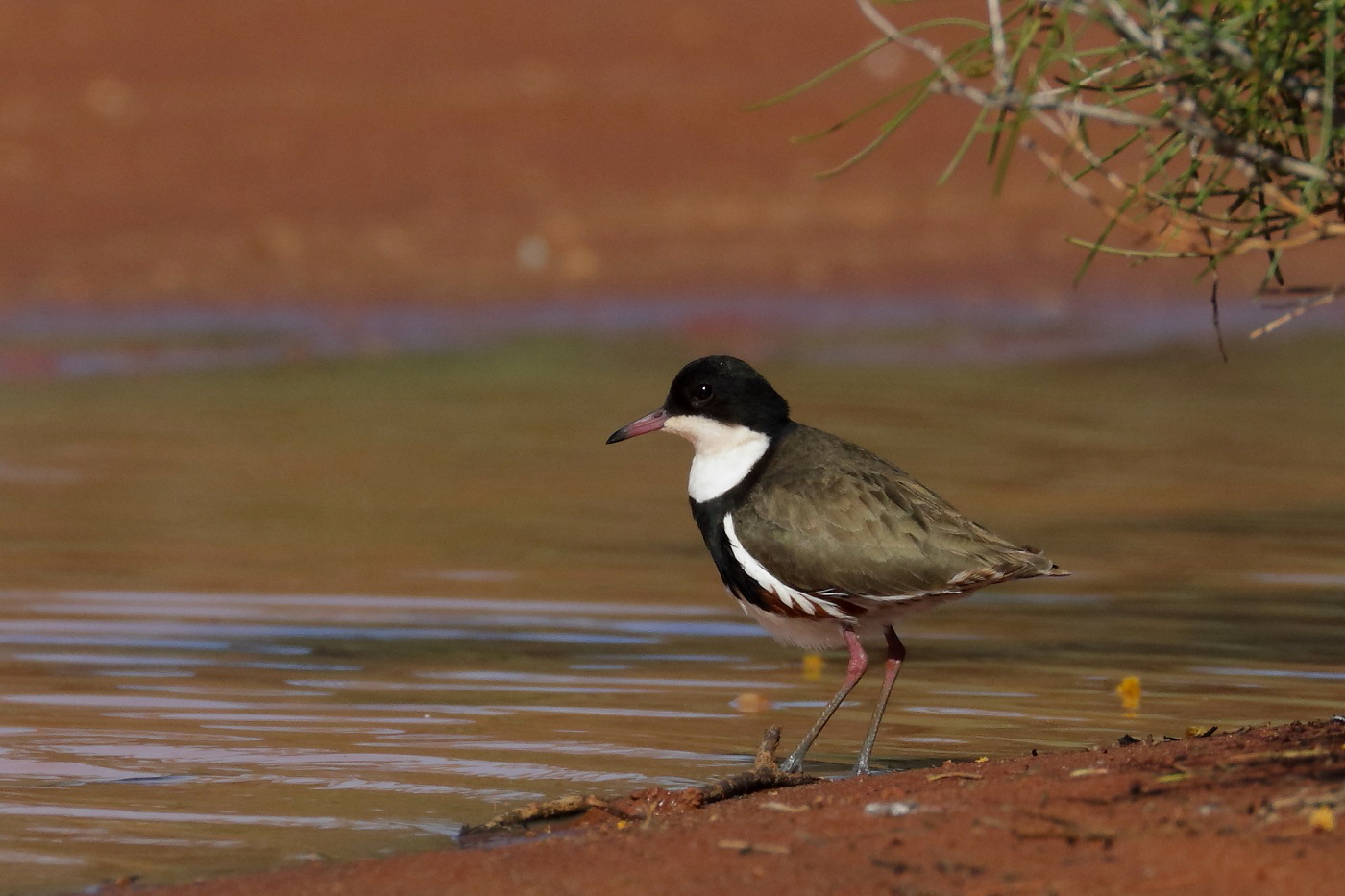 Red-kneed Dotterel (Image ID 32214)